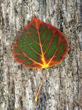 Changing Color. Aspen leaf in Lime Creek, Mineral County, Colorado, beginning the Fall color change Stock Image