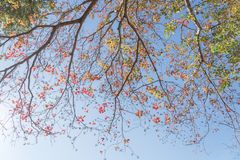 Changing color during fall season in Houston, Texas, USA. Upward perspective vibrant leaves changing color during fall season in Houston, Texas, USA. Tree tops royalty free stock photography