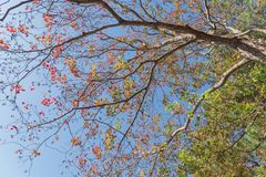 Changing color during fall season in Houston, Texas, USA. Upward perspective vibrant leaves changing color during fall season in Houston, Texas, USA. Tree tops Royalty Free Stock Photo