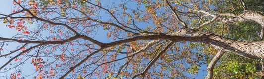 Changing color during fall season in Houston, Texas, USA. Upward perspective vibrant leaves changing color during fall season in Houston, Texas, US. Tree top Stock Photo