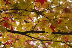 Changing color leaves Stock Photography