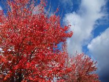 Changing color of leaves under a blue sky. Changing color of red leaves under a blue sky with a cool breeze on a sunny day in October Royalty Free Stock Photos