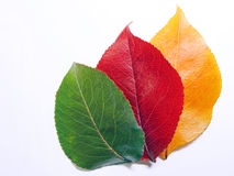 Changing Colors of Fall Leaves Showing Green Red a. These Bradford Pear Leaves were picked from the same tree and photographed on white paper to illustrate the stock photos