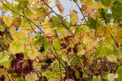 Changing colors in the fall vineyard Stock Photography