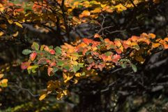 Fiery leaves on a bush Royalty Free Stock Photography