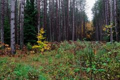 Changing Colors in a Michigan Forest. Clearing in a mostly coniferous forest filled with short, lush plants during the fall season stock images