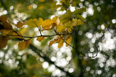 Changing colours of autumn leaves Stock Images