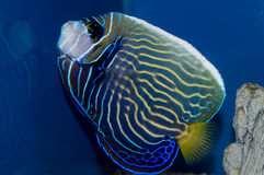 Changing Imperator Angel. The adult Emperor Angelfish, also called the Imperator Angelfish, has a bold, blue body covered with bright yellow horizontal stripes Royalty Free Stock Photos