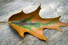 Changing Leaf Stock Photo