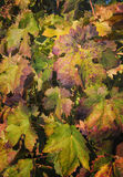 Changing Leaves 0n Grapvines, California royalty free stock image