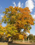 Changing Leaves. Image of a large tree in fall changing colors Stock Images