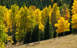Changing of the Leaves. Changing of the Aspen and Cottonwood leaves in the Rocky Mountains of Colorado stock photos