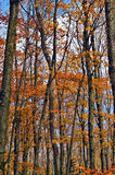 Changing Leaves, Michigan Royalty Free Stock Photography