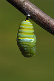 Changing Monarch caterpillar Royalty Free Stock Image