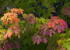 Changing Seasons. This is an image of a maple trees starting to change color with the approach of autumn royalty free stock images