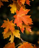 Changing Seasons. Orange and yellow maple leaves during the autumn in the Wasatch Mountains royalty free stock images