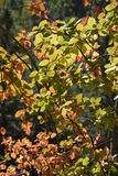 Changing Seasons. Sunshine filter through leaves changing from green to red in early autumn royalty free stock photography