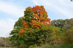 Changing Tree. This picture is of a tree in the early states of changing color in Kane County Illinois.  This picture was taken on September 27, 2014 Royalty Free Stock Photography