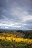 Autumn vineyards, Willamette Valley, Oregon Royalty Free Stock Images