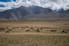 Habitat of Nomad people and their livestock near Tso Moriri Lake in Changtang, Ladakh, India Stock Image