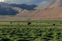 Changthang Plateau – Ladakh, Jammu and Kashmir, India royalty free stock images