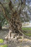 Old olive tree. Ancient olive tree in Crete Stock Photos