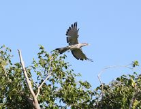 Channel-billed cuckoo flying. A channel-billed cuckoo launches from its perch Royalty Free Stock Photos