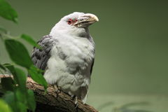 Channel-billed cuckoo Stock Photos