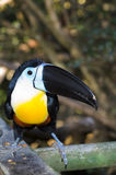 Channel Billed Toucan. Sitting at the feeding station Royalty Free Stock Photo