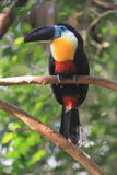 Channel-billed toucan. The adult channel-billed toucan on the branch stock photos
