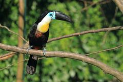 Channel-billed toucan. Sitting on the perch stock image