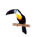 Channel-billed toucan isolated on white Royalty Free Stock Image