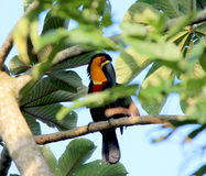 Channel-billed Toucan Stock Photo