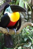 Channel-billed toucan Ramphastos vitellinus on the branch. stock image