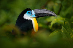 Channel-billed Toucan, Ramphastos vitellinus, sitting on branch in tropical green jungle, Colombia. Big beak bird. Detail portrait Stock Photo