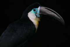 Channel-billed toucan royalty free stock image