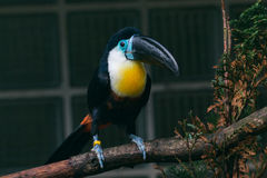 Channel-billed toucan royalty free stock photos