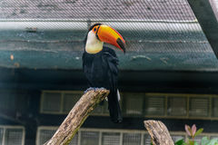 Channel-billed toucan with the strong orange beak and blue eyes Stock Photo