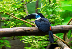 Channel billed toucan Stock Images