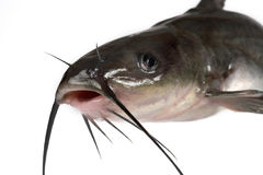 Channel catfish royalty free stock photo