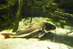 Channel Catfish. Large channel catfish on river bottom stock image