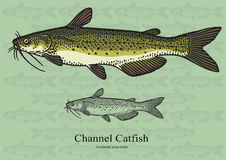 Channel Catfish - Vector illustration Royalty Free Stock Photos