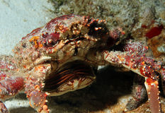 Channel Clinging Crab Stock Photography