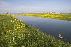 Channel in the middle of rice fields. Near yellow flowers Royalty Free Stock Photo