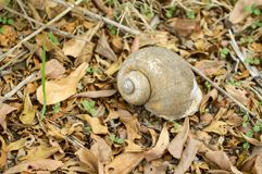 Channeled applesnail on the ground. Pomacea canaliculata royalty free stock photo