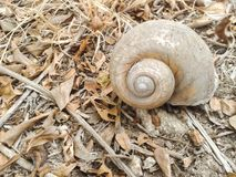 Channeled applesnail on the ground. Pomacea canaliculata royalty free stock image