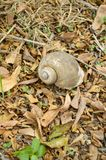 Channeled applesnail on the ground. Pomacea canaliculata stock photography