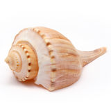 Channeled Whelk Spiral Shell royalty free stock photos