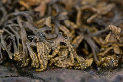 Channeled wrack Pelvetia canaliculata seaweed Stock Photography