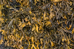 Channeled wrack Pelvetia canaliculata seaweed covering rock Stock Photo